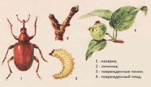 Внешний вид взрослого жука казарки и личинки, а также повреждение почек и плодов яблони