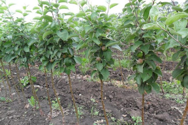 Ряды небольших колоновидных яблонь на клоновом подвое с частой посадкой