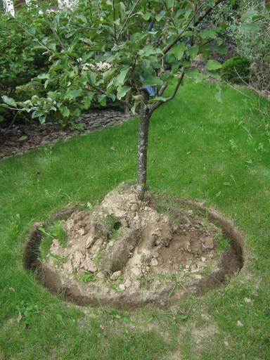 Копание канавки по внешнему диаметру проекции кроны молодой яблони