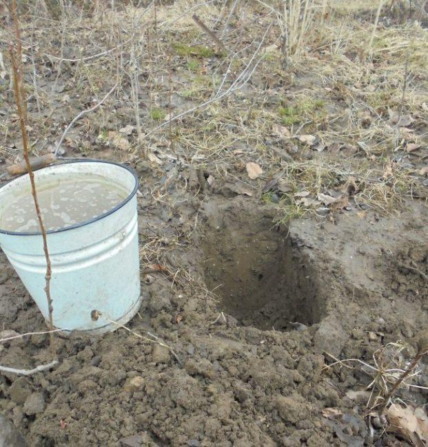 Эмалированное ведро с водой рядом с ямой для посадки саженца яблони