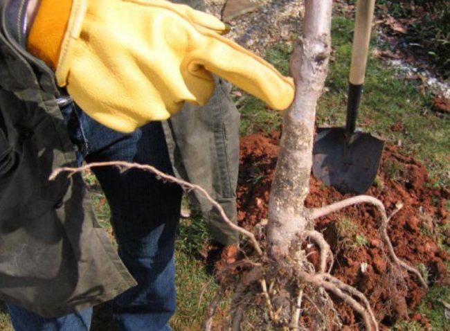 Опытный садовод показывает месторасположение корневой шейки на саженцы яблони