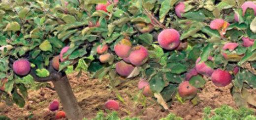 Плодоносящие деревца карликового сорта Ковровое