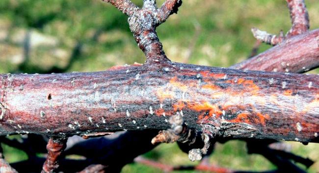 Ветка яблони с начальными признаками поражения дерева черным раком