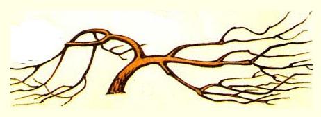 Схематичное изображение кроны плодовой яблони в виде красноярского куста