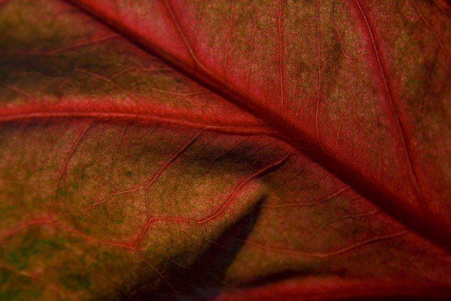 Лист яблони крупным планом с признаками недостатка бора в питании