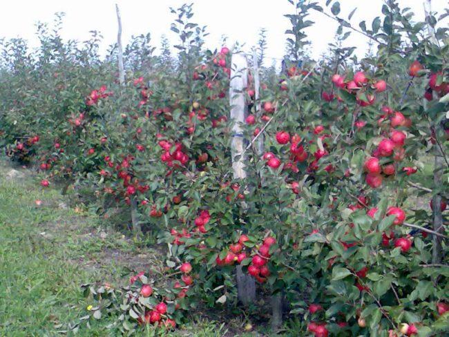 Красные плоды на карликовых яблонях в поле плодоовощного хозяйства