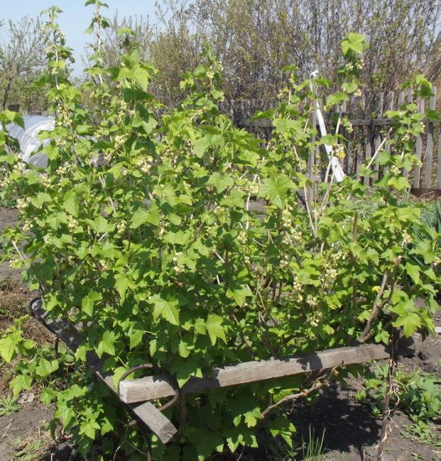 Куст смородины на самодельной подпорке из деревянных брусков