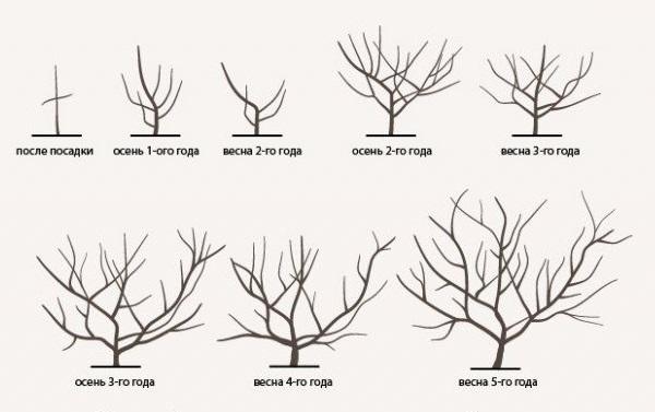 Последовательность обрезки кроны яблони при выращивании в виде куста