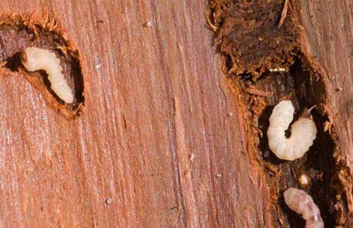 Белые личинки жуков короедов и проделанные ими ходы в древесине