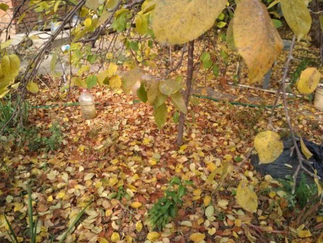 Опавшие листья яблони с признаками поражения дерева паршой обыкновенной