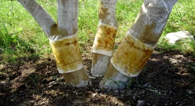 Стволы яблони с самодельными ловчими поясами от вредителей