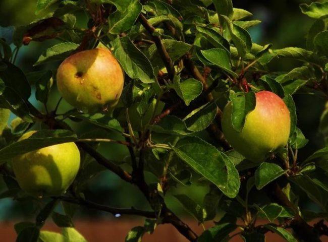 Несколько яблок на ветках гибридного сорта Татьяна в неурожайный год
