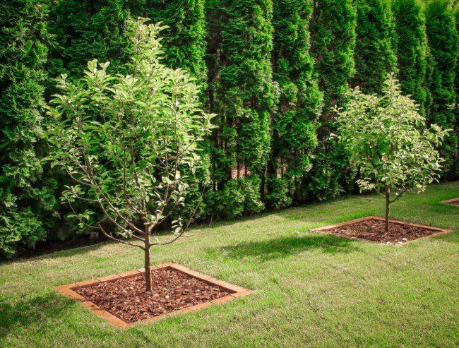 Плодовые яблони с ухоженными приствольными кругами на фоне высоких деревьев