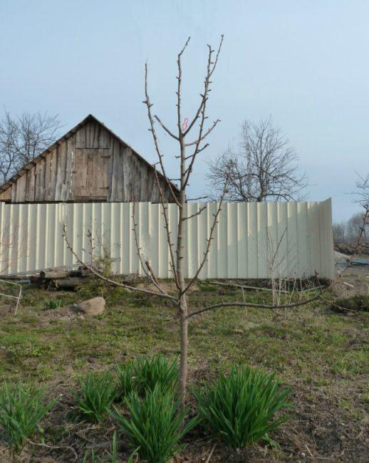 Молодая яблоня на фоне металлического забора перед весенней обрезкой