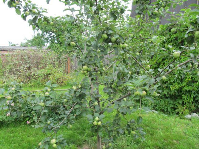 Молодое деревце яблони сорта Богатырь на дачном участке в Нижнем Поволжье