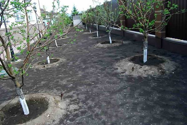 Молодые яблони, посаженные на двух линиях с шагом в пять метров