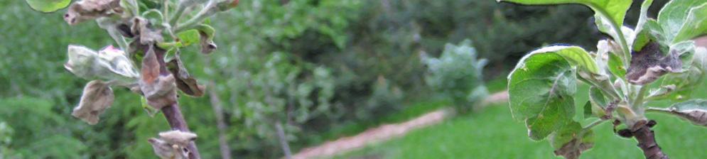 Белый налёт на молодых саженцах яблони на листьях и завязях
