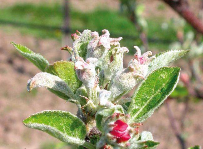 Завязи яблони с белым пушистым налетом от мучнистой росы