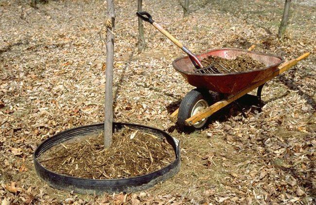 Внесение перепревшего навоза под молодые деревья яблонь