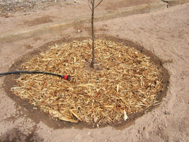 Полив яблони с древесной щепой в приствольном круге