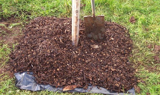 Мульчирование поверхности земли вокруг молодой сливы смесью компоста с листвой