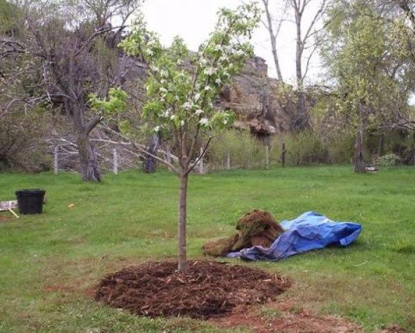 Мульчирование молодой яблони перегноем весной в период цветения