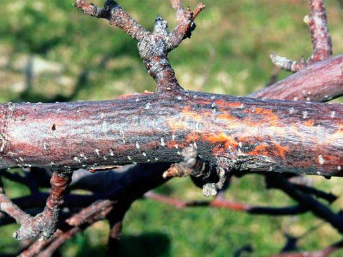 Красно-бурые пятна на коре ветки яблони при поражении растения черным раком