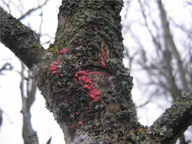 Центральный ствол старой яблони с черными и красными наростами на коре при цитоспорозе