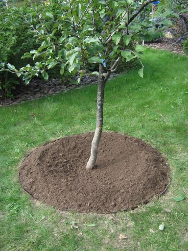 Ухоженный своими руками приствольный круг молодого деревца яблони