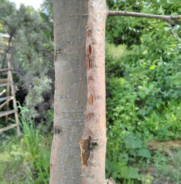 Небольшие лопины на коре центрального ствола яблони при инфекционном заболевании