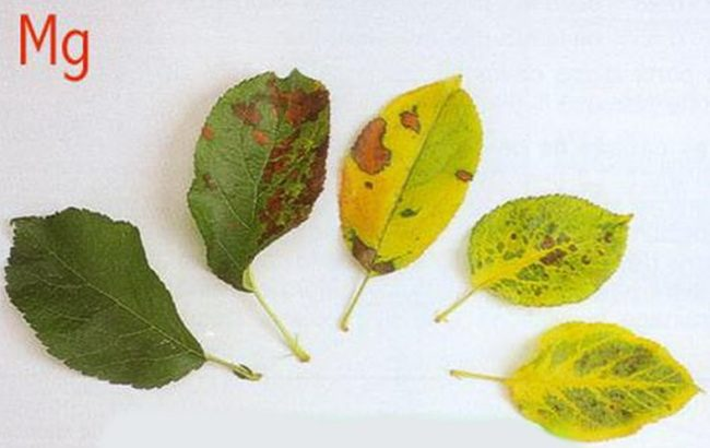 Листья яблони с симптомами нехватки калия в питании молодого дерева