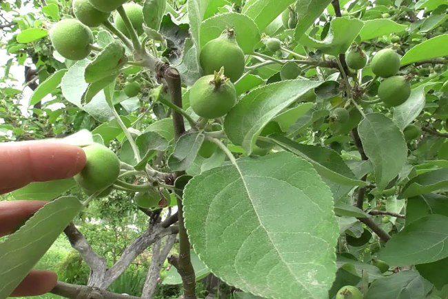 Молодое зеленые яблочки на ветках дерева после ручной нормировки плодоношения