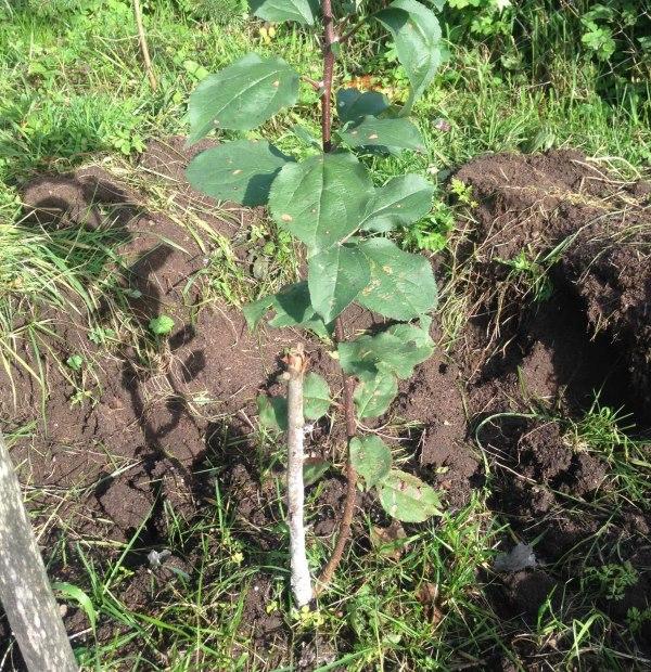 Новая молодая ветка с листиками рядом со старым погибшим стволом яблони