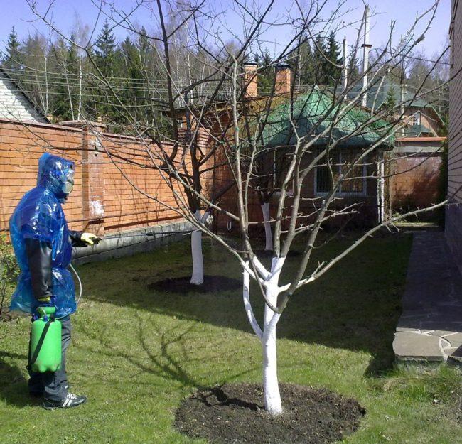 Ранневесенняя обработка деревца яблони от вредных насекомых из садового опрыскивателя