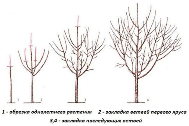 Схема формирующей обрезки сливового деревца в первые годы жизни