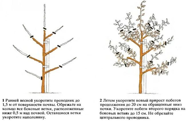 Принцип формирующей обрезки кроны сливы в первые годы жизни деревца