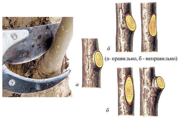 Схема грамотной обрезки лишней ветки яблони на кольцо