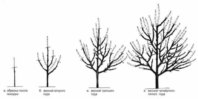 Порядок обрезки веток яблони в течении первых пяти лет жизни растения
