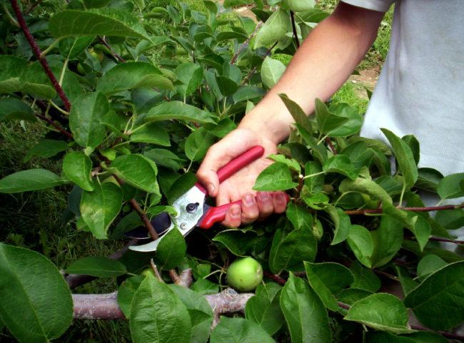 Летняя обрезка ветки яблони с зелеными листьями садовым секатором