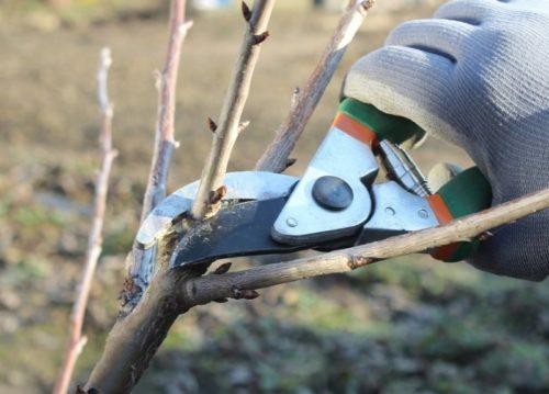 Весенняя обрезка ветки на деревце молодой яблони