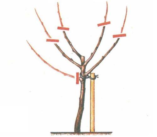 Схема обрезки двухлетней яблони при необходимости формирования низкорослого дерева