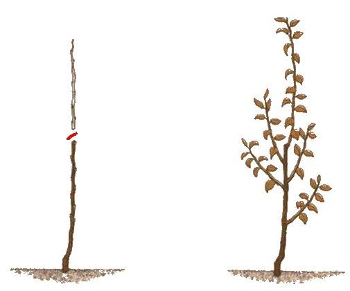 Схема однолетней яблони до и после обрезки центрального проводника