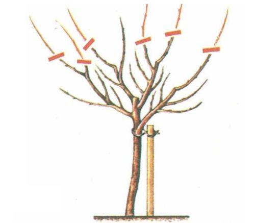 Схема обрезки яблони при формировании низкорослого деревца