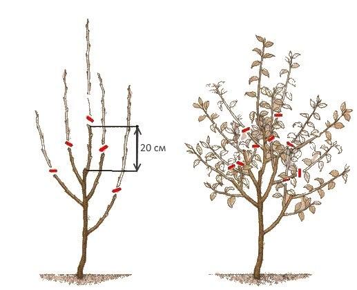 Схема обрезки молодой яблони на второй год после посадки