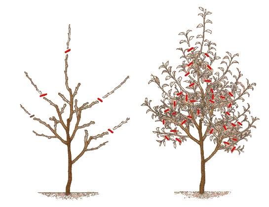 Схема формирующей обрезки кроны яблони на третий год после посадки