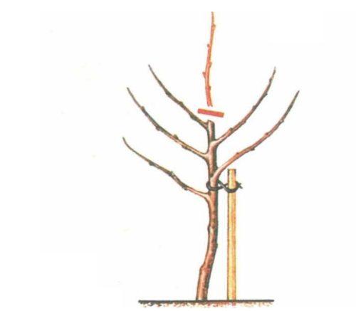 Схема обрезки однолетнего саженца яблони при посадке на место постоянного выращивания
