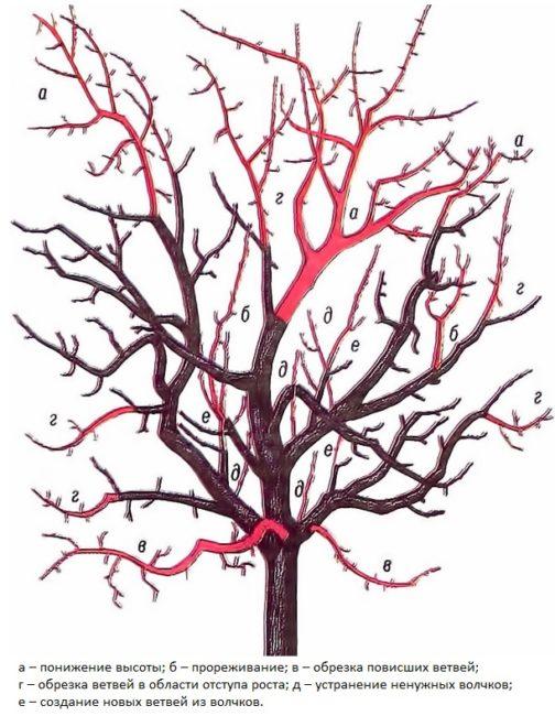 Схема и разновидности омолаживающей обрезки кроны запущенной яблони