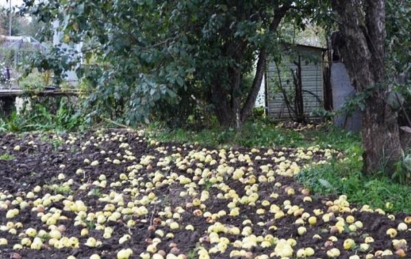 Опавшие желто-зеленые яблоки на земле под старыми деревьями