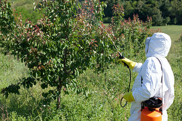 Летняя обработка кустов сливы раствором мочевины опытным садоводом в защитном костюме