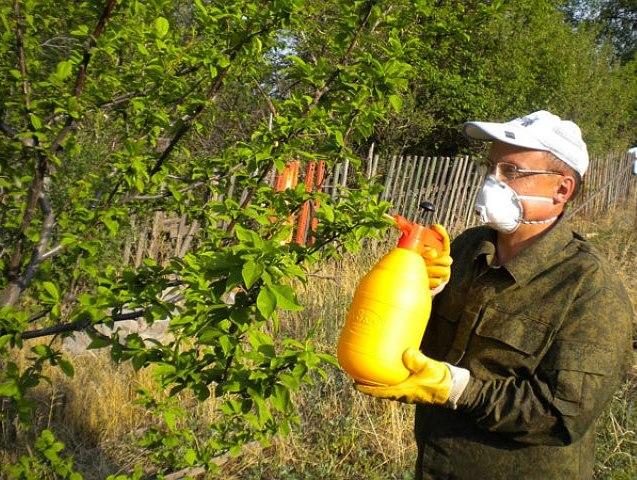 Летнее опрыскивание молодой сливы раствором мочевины из ручного распылителя
